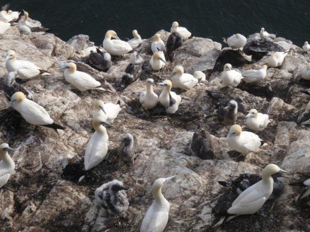 Bass Rock - Gannets